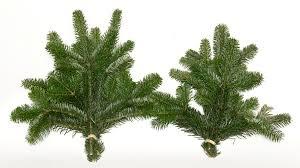Nordmann Fir Christmas Trees Wholesale by Nordmann Fir