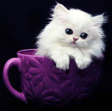 tea cup cat doll kittens for in michigan the kittengarden