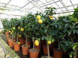 grünwaren echter zitronenbaum 60 90 cm zitrone citrus limon zitruspflanze