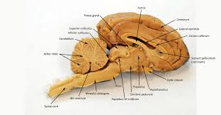 Sheep Brain HUMAN ANATOMY WEB SITE