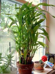 planting bamboo in a pot lucky bamboo care growing dracaena sanderiana