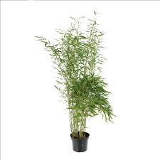 achat de bambous en pot jardinerie truffaut