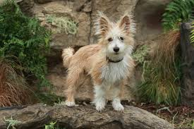 Small Dogs That Dont Shed Hair by 35 Best Medium Sized Dog Breeds List Of Popular Cute Medium
