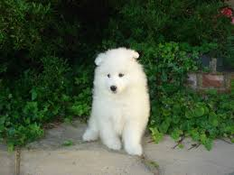 Do Samoyeds Shed All The Time by 60 Adorable Pictures Of Samoyed Breed Dogs