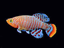 poisson eau douce aquarium tropical liste de poissons d aquarium d eau douce wikipédia