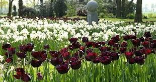 tulips a triumph of timing telegraph