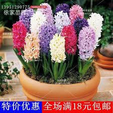 2018 hyacinth bulbs potted plants flower bulbs imported from