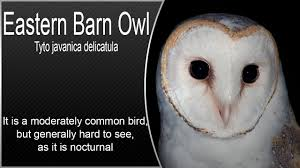 Eastern Barn Owl - YouTube Common Barn Owl 4 Mounths In Front Of A White Background Stock Royalty Free Images Image 23603549 Known Photo 552016159 Shutterstock Owl Wikipedia 644550523 Mdc Discover Nature Tyto Alba Perched On A Falconers Arm At Daun Audubon Field Guide Mounths Lifeonwhite 10867839 Barnowl 1861 Best Owls Snowy Saw Whets Images Pinterest Photos Dreamstime
