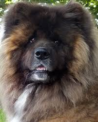 Do Akita Dogs Shed Hair by Yogi Long Haired Japanese Akita Akita Dog And Animal