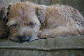 Border Terrier Non Shedding by Border Terrier Dog Breed Information And Pictures
