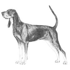 Do Bluetick Coonhounds Shed by Black And Tan Coonhound Dog Breed Information American Kennel Club