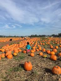 Sauvies Island Pumpkin Patch Corn Maze by Best 25 Pumpkin Patch Seattle Ideas On Pinterest Pumpkin