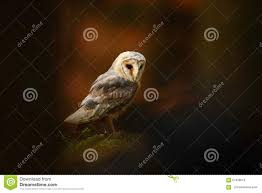 Barn Owl Sitting On Stone In Dark Forest Stock Photo - Image: 67938519 This Galapagos Barn Owl Lives With Its Mate On A Shelf In The Baby Barn Owl Owls Pinterest Bird And Animal Magic Tito Alba Sitting On Stone Fence In Forest Barnowl Real Owls Echte Uilen Wikipedia Secret Kingdom Young Tyto Roost Stock Photo 206862550 Shutterstock 415 Best Birds Mostly Uk Images Feather Nature By Annette Mckinnnon 63 2 30 Bird Great Grey
