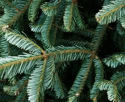 Fraser Fir Christmas Trees Nc by Fraser Firs For Christmas Farm Flavor