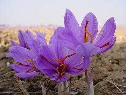 get rich hydroponic saffron the vertical farming