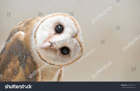 Common Barn Owl Tyto Albahead Head Stock Photo 379547776 ... January Star Species The Barn Owl Bird Of Prey Centres And Experience Hunting What Where How Do They Hunt Rspb Barn Owl Bakery Artisan Craft Bakery On Lopez Island About Rivington Pair Barn Owl Prints By Lucy Coggle Notonthehighstreetcom Trust Barnowltrust Twitter Vs Peregrine Falcon Greylag Goose Super Powered Owls Amazing Facts Youtube 146 Best Birds Images Pinterest Owls Boph Project Hampshire Of Prey Hospital