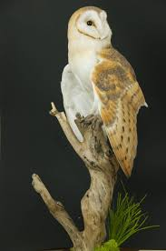 Barn Owl On Branch – UK Bird Small Mammal Taxidermist Mike Gadd Barn Owl Facts About Owls The Rspb Bto Bird Ring Demog Blog October 2014 Chouette Effraie Lechuza Bonita Sbastien Peguillou Owl Free Image Peakpx Wikipedia Barn One Wallpaper Online Galapagos Quasarex Expeditions Hungry Project Home Facebook Free Images Nature White Night Animal Wildlife Wild Hearing Phomenal Of Nocturnal Wildlife Animal Images Imaiges