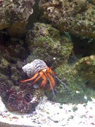 Halloween Hermit Crab by Dexter Our Hairy Red Leg Hermit Crab Named Because He Would