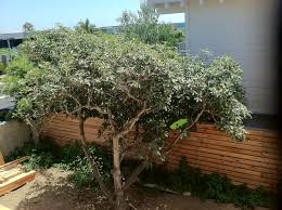 You Need An Avocado Tree! – Attracting Wellness Garden Design With Backyard Trees Privacy Yard A Veggie Bed Chicken Coop And Fire Pit You Bet How To Illuminate Your With Landscape Lighting Hgtv Plant Fruit Tree In The Backyard Woodchip Youtube Privacy 10 Best Plants Grow Bob Vila 51 Front Landscaping Ideas Designs A Wonderful Dilemma Ramblings From Desert Plant Shade Digital Jokers Growing Bana Trees In Wearefound Home 25 Potted Ideas On Pinterest Indoor Lemon Tree