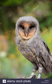 A Rare Black Barn Owl On Display In East Sussex UK, Picture Jim ... Black Barn Owl Oc Eclipse By Pkhound On Deviantart Closeup Of A Stock Photo 513118776 Istock Birds Of The World Owls This Galapagos Barn Owl Lives With Its Mate A Shelf In The Started Black Paper Today Ref Paul Isolated On Night Stock Photo 296043887 Shutterstock Stu232 Flickr Bird 6961704 Moonlit Buttercups Moth Necklace Background Image 57132270 Sd Falconry Mod Eye Moody