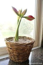 amaryllis bulb planting amaryllis bulbs amaryllis bulbs home depot