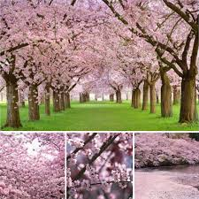 Hup New Hot 20PCS Pink Fountain Weeping Cherry Blossom Bonsai Tree Sakura Flower
