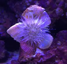 Decorator Crabs Reef Safe by Pincushion Sea Urchin Good Or Bad For Your Tank Reef In A Box
