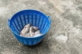 Tilapia And Nile Known As Mango Fish Nilotica In Blue Plastic Bucket Raw Fresh Freshwater Basket On Concrete Floor