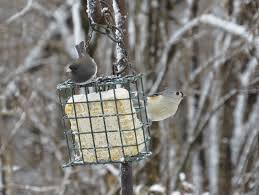 Free Images : Tree, Nature, Branch, Winter, Beak, Avian, Fauna ... Some Ways To Keep Our Backyard Birds Healthy Birds In The These Upcycled Diy Bird Feeders Are Perfect Addition Your Two American Goldfinches Perch On A Bird Feeder Eating Top 10 Backyard Feeding Mistakes Feeder Young Blue Jay First Time Youtube With Stock Photo Image 15090788 Birdfeeding 101 Lover 6 Tips For Heritage Farm Gardenlong Food Haing From A Tree Gallery13 At Chickadee Gardens Visitors North Andover Ma
