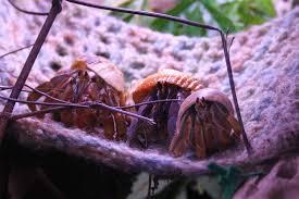 Halloween Hermit Crab Reef Safe by Proper Care Of Land Hermit Crabs Alaska Hermit