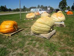 Natural Fertilizer For Pumpkins by Live From The Ncrs Melon U0026 Pumpkin Contest Here In St Johns