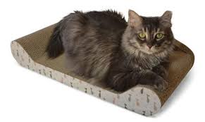 Do Maine Coons Shed In The Summer by Which Cat Should You Get Maine Coon Vs Norwegian Forest Cat