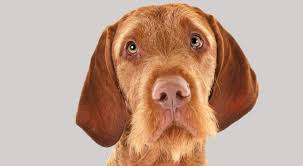 Wirehaired Pointing Griffon Non Shedding by Wirehaired Vizsla Dog Breed Information American Kennel Club