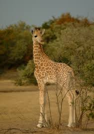 West African Giraffe Julian Fennessey