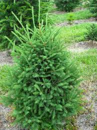Frasier Christmas Tree by Trees Stoll Select Farm