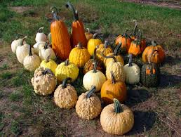 Varieties Of Pumpkins by Pumpkins And Plastic The Pros And Cons Of Plasticulture Msu