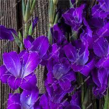 aliexpress buy 100 true purple gladiolus bulbs seeds 50