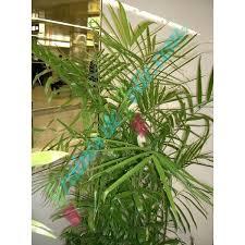 vente de graines de palmier bambou nain chamaedorea seifrizii