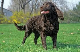 Dogs That Shed Very Little by American Water Spaniel Breed Information