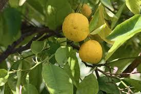 zitronenbaum erfolgreich überwintern so schützen sie ihn