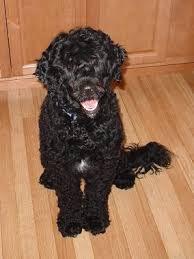 Portuguese Water Dog Non Shedding by View Ad Portuguese Water Dog Puppy For Sale Maryland