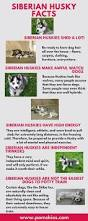 Do Malamutes Shed Hair by 185 Best Husky House Images On Pinterest Siberian Huskies