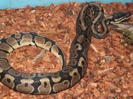 ball python pet python regius petmd