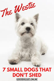 Terriers That Dont Shed by 7 Adorable Small Dogs That Don U0027t Shed Good Doggies Online