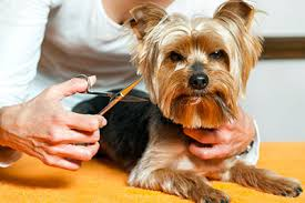 Small Non Shedding Dogs Australia by 35 Dog Breeds That Don U0027t Shed Small Medium U0026 Large Breeds