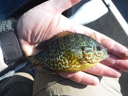 Pumpkin Seed Sunfish Pictures by Fly Fishing Carey U0027s Slough Skagit Fisheries Enhancement Group