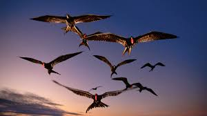 Scientists Finally Have Evidence That Frigatebirds Sleep While