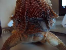 grey patches on beard should i be worried bearded dragon org