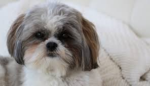 No Shedding Dog Breed by Best Non Shedding Dogs U2013 Top 10 Dog Breeds That Don U0027t Shed Much
