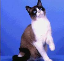 snowshoe cat snowshoe cat cat breeds petfinder
